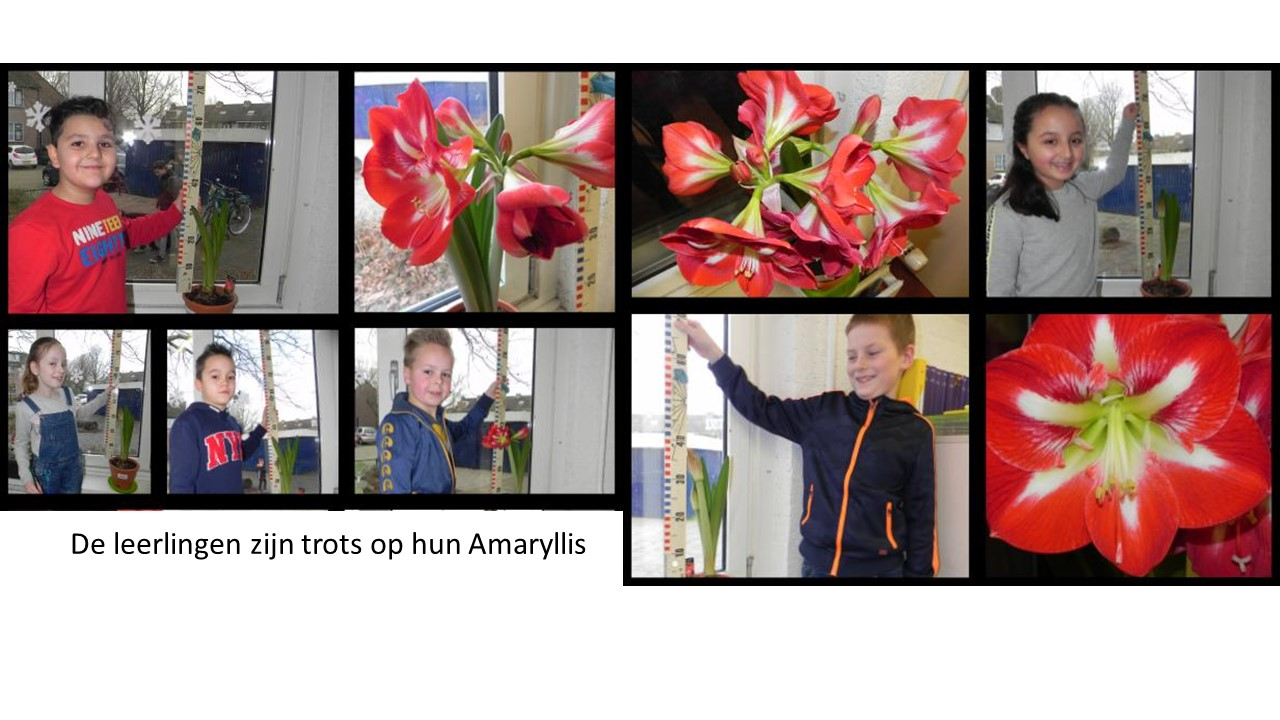 De mooiste Amaryllis